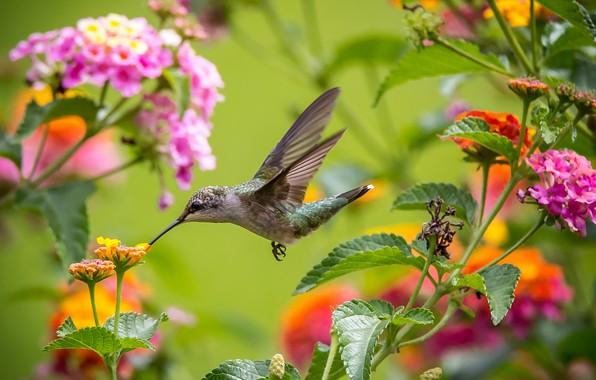 Картинка полет, цветы, крылья, колибри