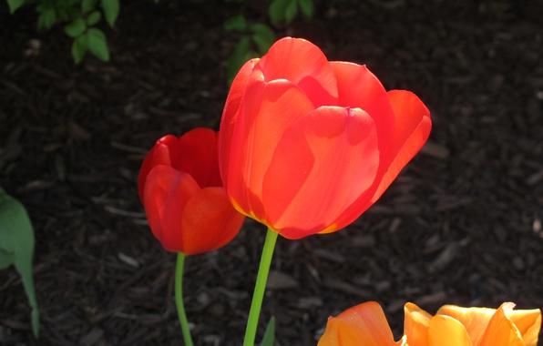 Картинка Весна, Тюльпаны, Spring, Tulips, Red tulips, Красные тюльпаны