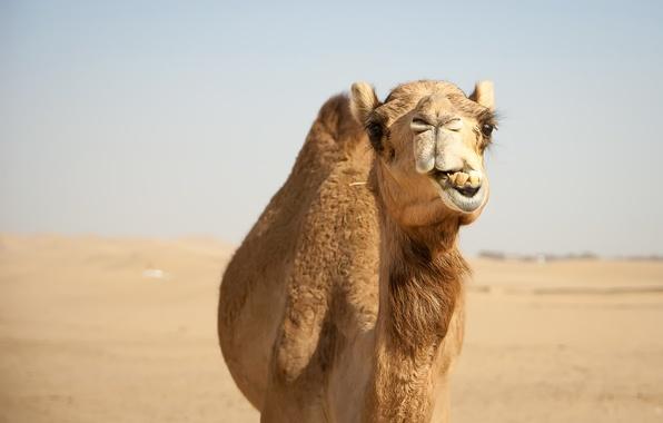 Картинка природа, пустыня, верблюд