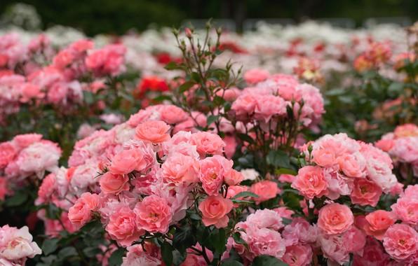 Картинка розовый, розы, кусты, розарий