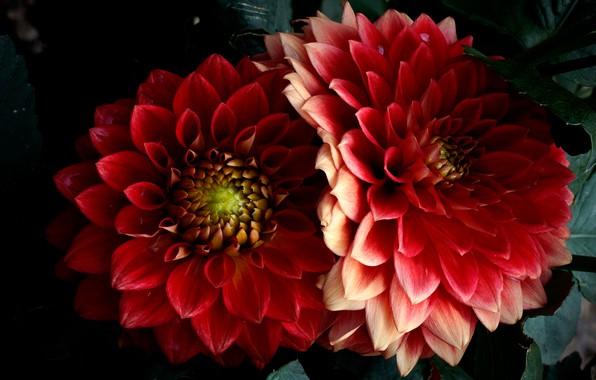 Картинка макро, цветы, темный фон, яркие, красота, лепестки, красные, алые, георгины, пышные, махровые