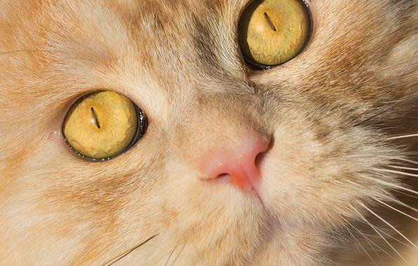 Картинка глаза, кот, взгляд, мордочка, котэ, рыжий кот