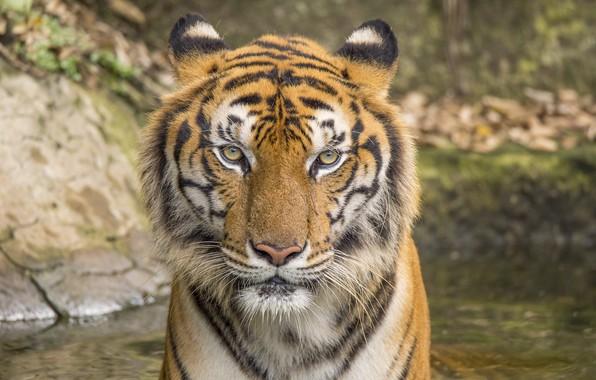 Картинка кошка, тигр, животное, tiger, cat, animal