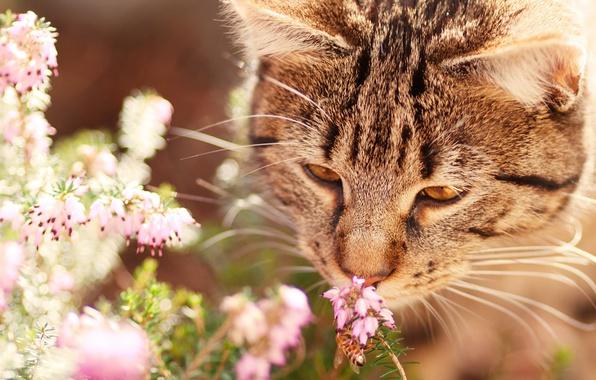 Картинка кошка, кот, морда, цветы, природа, серый, фон, настроение, оса, насекомое, полосатый, нюхает, вереск