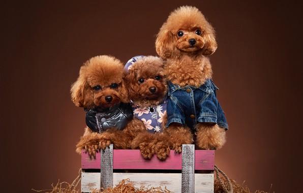 Картинка собаки, ящик, трио, фотосессия, наряды, троица, пудели, пёсики, Той пудель