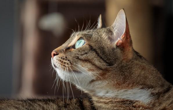 Картинка кошка, кот, взгляд, портрет, мордочка, профиль