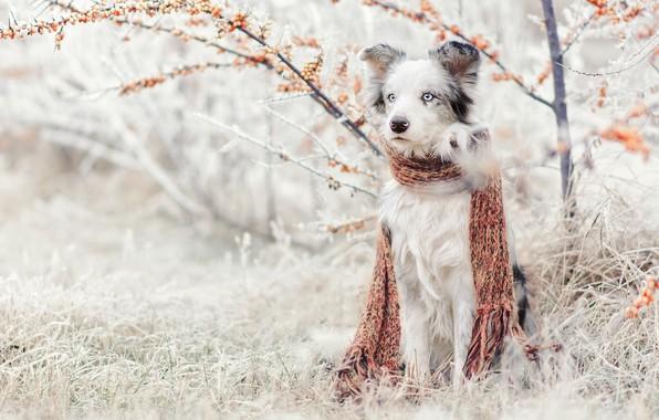 Фото обои зима, иней, трава, снег, природа, куст, собака, сад, шарф, сидит, австралийская овчарка, облепиха, аусси