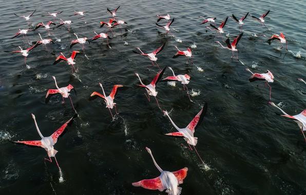 Картинка вода, крылья, стая, бег, фламинго, взлёт