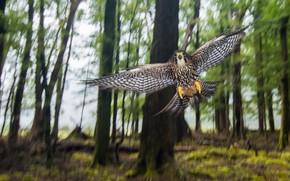 Обои птица, лес, Wild New Zealand Falcon, природа