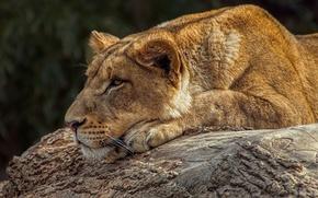 Обои дикая кошка, профиль, морда, львица, отдых, хищник, лежит