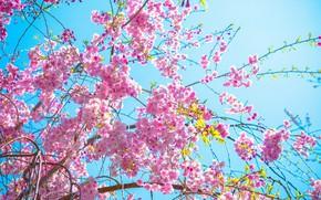 Картинка Цветы, Дерево, Весна, Сакура