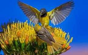 Картинка цветок, небо, птицы, природа, пальмовый цветной трупиал, цветной трупиал Баллока