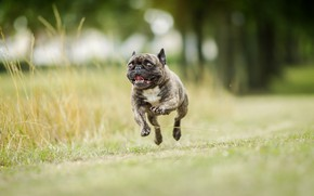 Картинка фон, собака, бег