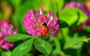 Обои Зелёные листья, Цветы, Flowers, Macro, Макро, Божья коровка, Green leaves