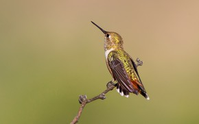 Картинка птица, ветка, клюв, охристый колибри