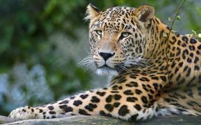Картинка взгляд, морда, кошки, фон, ветка, лапы, леопард, лежит, дикие кошки, дикая природа, боке