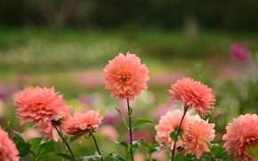 Картинка цветы, цвет, лепестки, цветение, георгины