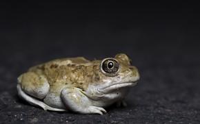 Картинка природа, лягушка, Great Basin Spadefoot Toad