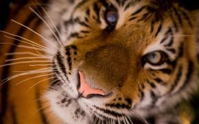 Картинка взгляд, морда, макро, тигр, дикая кошка