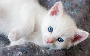 Картинка кошка, белый, котенок, фон, портрет, лапки, малыш, мордочка, ткань, лежит, котёнок, голубоглазый