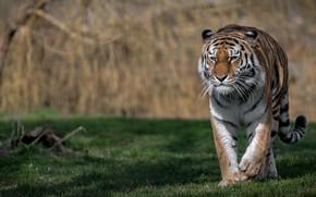 Обои дикая кошка, хищник, тигр, боке