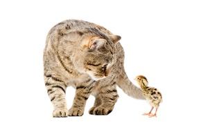 Картинка кот, пара, цыпленок, cats, chickens
