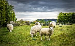 Картинка природа, овцы, шерсть