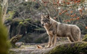 Обои лес, ветки, волк, бревно, серый, дикая природа, животные