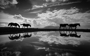 Картинка кони, лошади, чб фотография