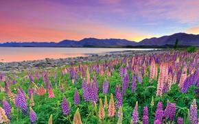 Картинка цветы, горы, озеро, Новая Зеландия, New Zealand, Lake Tekapo, люпины, Южные Альпы, Southern Alps, Озеро …