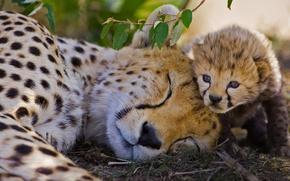 Обои заповедник, гепард, Кения, Масаи-Мара, Африка, кошка