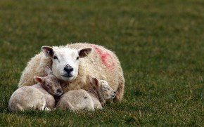 Картинка природа, фон, овцы
