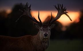 Обои олень, закат, рога, взгляд