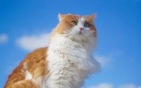 Обои кошка, небо, взгляд, портрет, пушистая