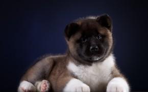 Картинка взгляд, фон, собака, Щенок