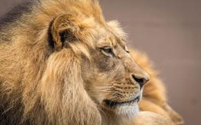 Картинка морда, портрет, лев, грива, царь зверей
