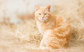 Обои рыжий кот, рыжая, сено, взгляд, кошка