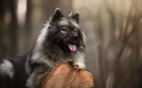 Картинка язык, взгляд, морда, портрет, собака, бревно, боке, Евразиер