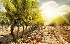 Обои природа, пейзаж, грозди винограда, виноградник