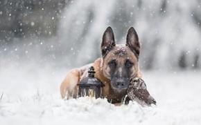 Картинка зима, животные, снег, природа, сова, птица, портрет, собака, дружба, фонарь, друзья, снегопад, бельгийская овчарка