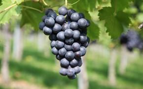 Картинка Виноград, Виноградник, Виноградарства