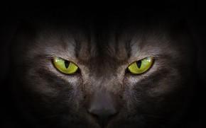 Обои глаза, взгляд, green, black, eyes, cat, черная кошка