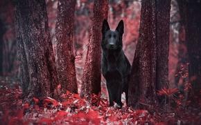 Обои dog, немецкая, листва, ruby, пёс, чёрная, forest, стволы деревьев, German shepherd, красный, лес, crimson, овчарка, ...