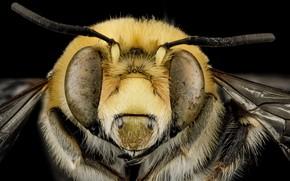 Картинка природа, пчела, насекомое, anthophora affabilis