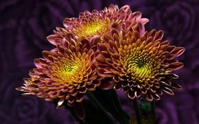Обои желтый, двухцветные, узор, крупный план, лепестки, фиолетовый, яркие, хризантемы, фон, цветы