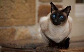 Картинка кошка, взгляд, голубые глаза, Jack Russell, Тайская кошка
