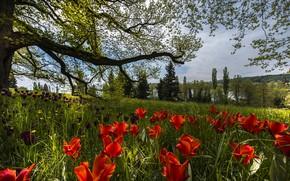 Картинка весна, Германия, тюльпаны, Mainau Island
