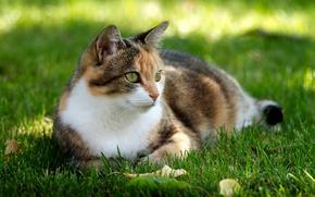 Картинка кошка, трава, отдых, лужайка
