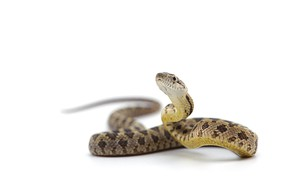 Картинка snake, head, reptile, scales