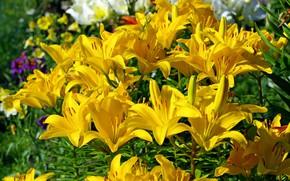 Обои лето, луковичные, тычинки, флора, растения, жёлтый цвет, пестики, природа, лилии, красота, цветы